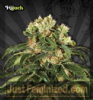 Auto Seeds Hijack Female 5 Marijuana Seeds